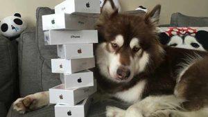 """""""Phú Nhị Đại"""" Trung Quốc mua tám iPhone 7 cho chó cưng"""